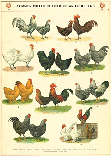 Cavallini & Co. Chickens and Roosters Poster Wrapping Paper Sheet (Chicken Paper compare prices)