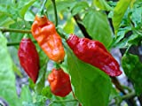 Saavyseeds Bhut Jolokia-ghost Chile Pepper Seeds - 35 Count - Hot Pepper!