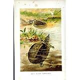 Impresión Antigua del Color Suave de las Tortugas del Río de la Historia Natural 1896