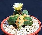 196.アストロフィツム兜(KABUTO)の綺麗な斑入り種。(Astrophytum nudun variegated ) 5粒 [並行輸入品]