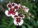 1 blühfähige Orchidee der Sorte: Oncidium Variegatum