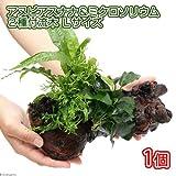 (水草)アヌビアスナナ&ミクロソリウム2種付流木 Lサイズ(1本) 本州・四国限定[生体]