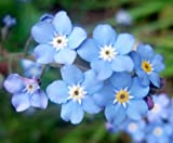 FORGETMENOT MYOSOTIS CLASSIC HARDY PRETTY ENGLISH WILDFLOWER IN PACK OF 5 7CM POT FLOWERS THIS SUMMER