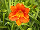 16 Fans Justin George Day Lily Available April 2015