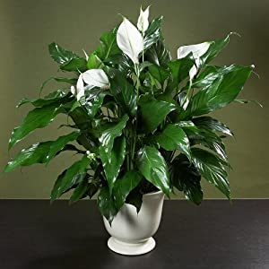 Buy flowering plants gifts - River Tree Gift Baskets Elegant Peace Lily In Lavender Monarch Container - Mother\'s Day Gift - Live Plant - Sympathy Gift - Bereavement Gift - Flowering Plant - Live Flowers - Green Gift Ships Via 2 Day Air!
