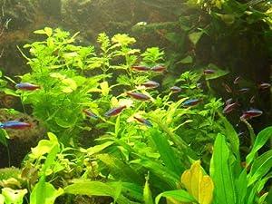 XXL Südamerika Aquarienpflanzen Set für 500-600 Liter, Wasserpflanzen
