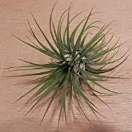 Hinterland Trading Air Plant Tillands…
