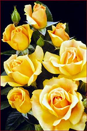 Roses - Creamy Yellow, Ruffled Blooms