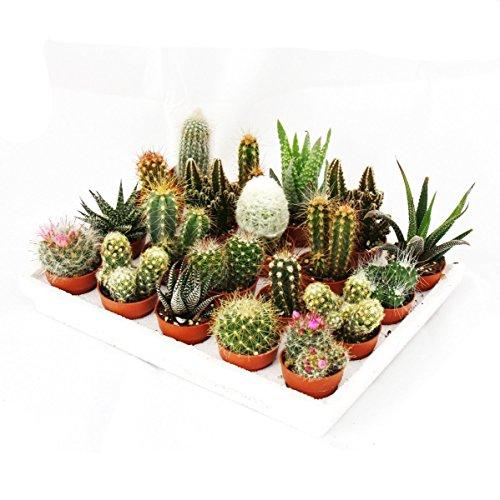 Mini-Kakteen und Sukkulenten - Set mit 20 Pflanzen thumbnail