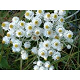 200 PEARLY EVERLASTING (Rabbit Tobacco) Anaphalis Margaritacea Flower Seeds