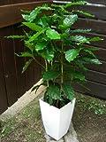 観葉植物 コーヒーの木 7号サイズ