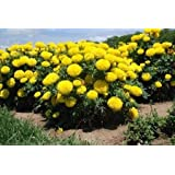 MARIGOLD AFRICAN YELLOW FLOWER SEEDS PACK OF 250 SEEDS BY Seedscare India