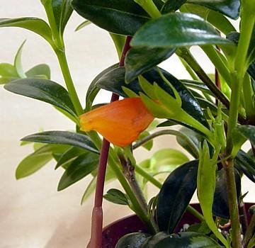 goldfish plant pictures. Buy Cheap Goldfish Plant