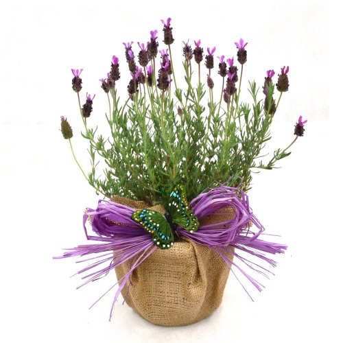 a-pot-of-scented-french-lavender-superb-plant-flower-gift-for-mothers-day-birthdaynew-home-or-just-a