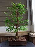 15 Dawn Redwood (Metasequoia Glyptostroboides) Seeds, Rare Exotic Bonsai Seeds