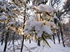 Fresh Snow Covers Trees in the Woods