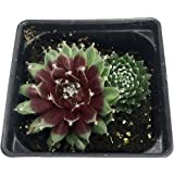 "Red Rubin Hens & Chicks - Sempervivum - Very Hardy - 4"" Pot"