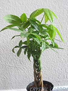 9GreenBox - Rare Mini Pachira Five Braided Tree Bring Luck Pachira Houseplant Bonsai