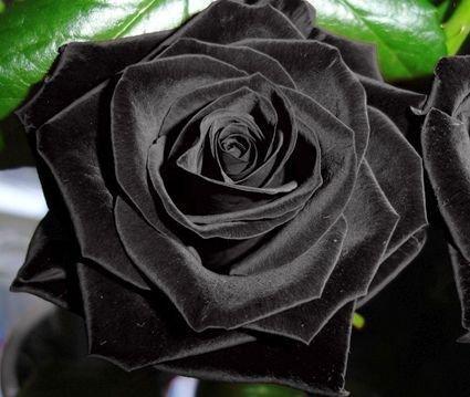 exotic-plants-rose-nero-rosa-nero-10-semi