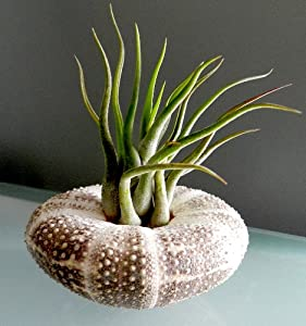 Hinterland Trading Air Plant Tillandsia Mini Medusa Sea Urchin Shell Terrarium Kit Beautiful Houseplant or Beach Wedding Favor