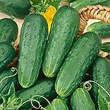 Saavyseeds Organic Champion Bush Cucumber Seeds - 35 Count -
