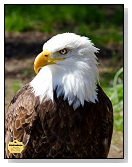 American Bald Eagle Notebook - A regal image of the American Bald Eagle graces the cover of this wide ruled notebook.