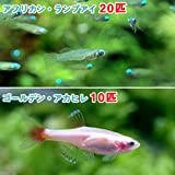 (熱帯魚)アフリカン・ランプアイ Sサイズ(20匹) + ゴールデンアカヒレ(10匹) 本州・四国限定[生体]