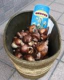秋植え日本水仙【球根】10球セットです。