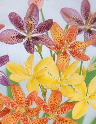 Buy Leopard Plant 20 Seeds – Belamcanda – Perennial – FREE SHIPPING ON ADDITIONAL HIRTS SEEDS