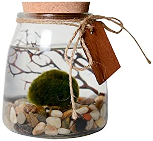 Marimo Aquarium Kit