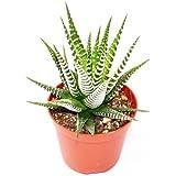 "Haworthia fasciata ""Big Band"" - medium-sized plant in the top 8.5 cm"