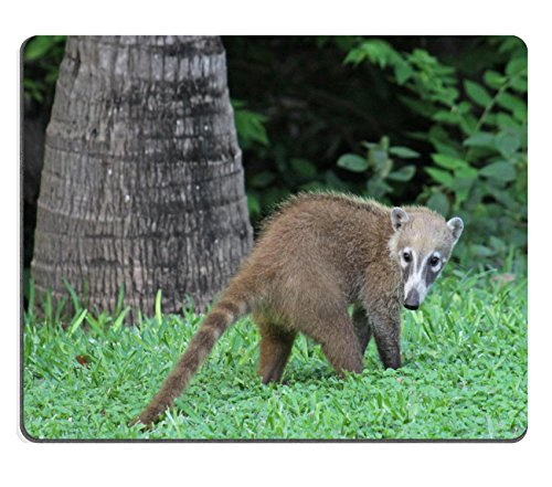 Liili Mouse Pad Natural Rubber Mousepad IMAGE ID: 14568606 A juvenile White nosed Coatis Nasua narica foraging just outside the jungle Shot in the Yucatan peninsula Mexico