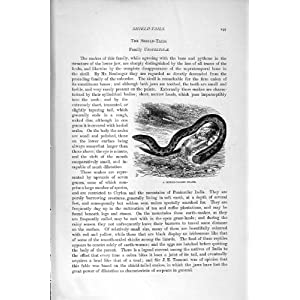 ... NATURAL HISTORY 1896 SHIELD-TAILED SNAKE UROPELTIDA