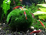 3 Giant Marimo Moss Balls + 1 Free - Very High Quality - 2 to 2.5 Inches, 8 to 15 Years Old! - Great for Live Fish, Shrimp, and Snails! by Aquatic Arts