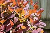 RP Seeds Cotinus Coggygria Smoke Bush Seeds