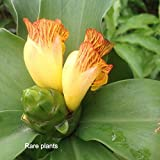 Insulin Plant / Fiery Costus/ Step Ladder / Spiral Flag - 3 Rhizomes