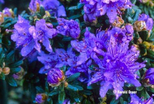 9cm-pot-dwarf-rhododendron-impeditum-blue-purple-flowers-garden-shrub-plant