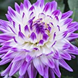 Generic Rare Purple Dahlia Seeds Beautiful Perennial Flowers Seeds Dahlia For DIY Home Garden - 100 PCS