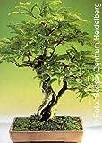 Tropica - Bonsai - Tamarinde - 4 Samen