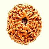 Divya Shakti 100% Original Indonesian Twelve Face Rudraksha ( 12 Mukhi Rudraksh ) 11 M.M small size