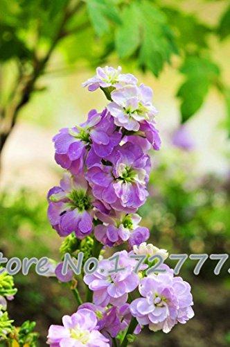 semi-di-fiori-viola-matthiola-incana-violette-africane-semi-100-colori-tra-cui-scegliere-particelle-