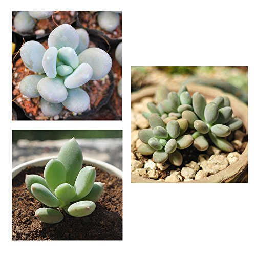Pachyphytum Oviferum Succulent Plants Seeds Garden Perennial Herb 10pcs (Snoop Dog Pen Herbal Vaporizer compare prices)