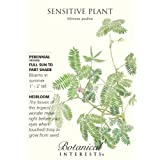 Sensitive Plant Seeds