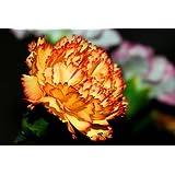50 ORANGE CARNATION Dianthus Caryophyllus Chabaud Flower Seeds *Comb S/H