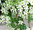 Avalanche Evergreen Clematis Vine - Live Plant - 4 Inch Tall Pot