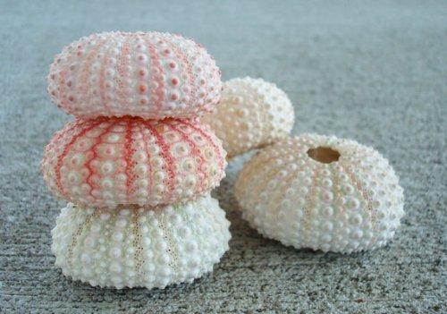 Pink Sea Urchins - 5 pcs.
