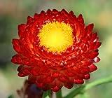 100 RED FIRE BALL STRAWFLOWER Helichrysum Monstrosum Flower Seeds