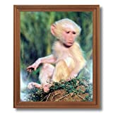 Olive Albino Baby Baboon Monkey Wildlife Wall Picture Oak Framed Art Print
