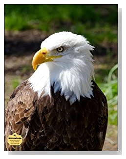 American Bald Eagle Notebook - A regal image of the American Bald Eagle graces the cover of this blank and college ruled notebook with blank pages on the left and lined pages on the right.