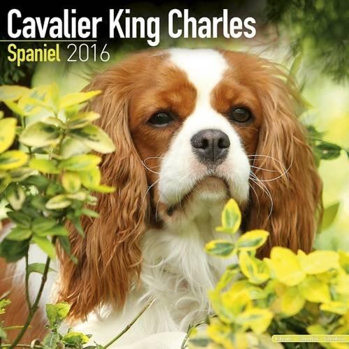Cavalier King Charles Spaniel Calendar 2016 (Square)